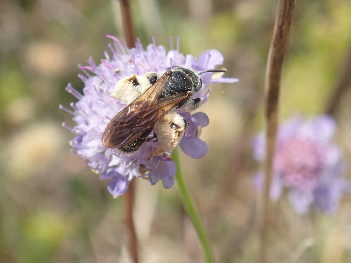 Honey bee on a light purple wild flower in close up
