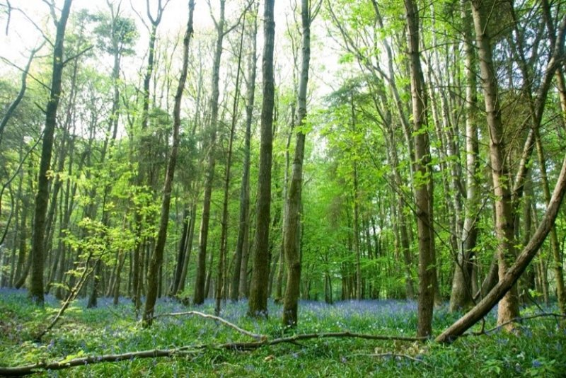 Bluebells flowering in woodland at Stanmer Park