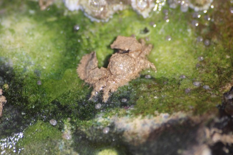 Hairy porcelain crab