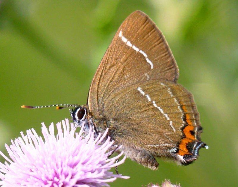 White Letter Hairstreak butterfly