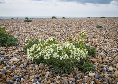 Photo by Liz Finlayson/Vervate The Living Coast, the Brighton & Lewes Downs UNESCO Biosphere Region includes land and sea from Shoreham to Newhaven. Shoreham by Sea and River Adur Vegetated shingle beach at Shoreham