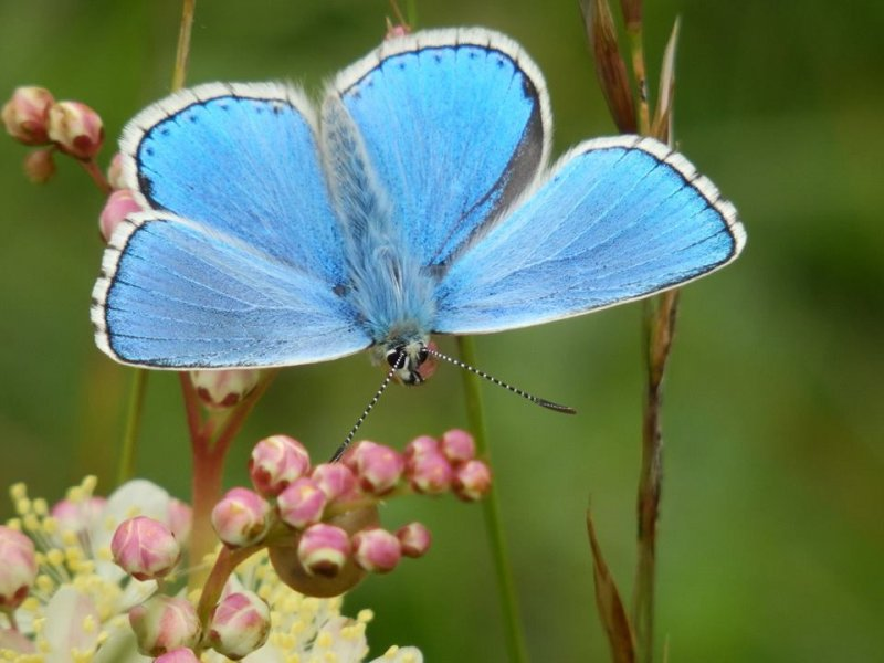 Adonis Blue butterfly in close up
